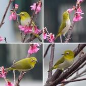 綠繡眼與山櫻~鳥語花香:相簿封面
