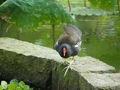鳥類:紅冠水雞IMGP2297.JPG