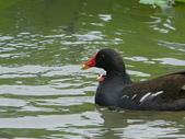 鳥類:紅冠水雞IMGP2284.JPG