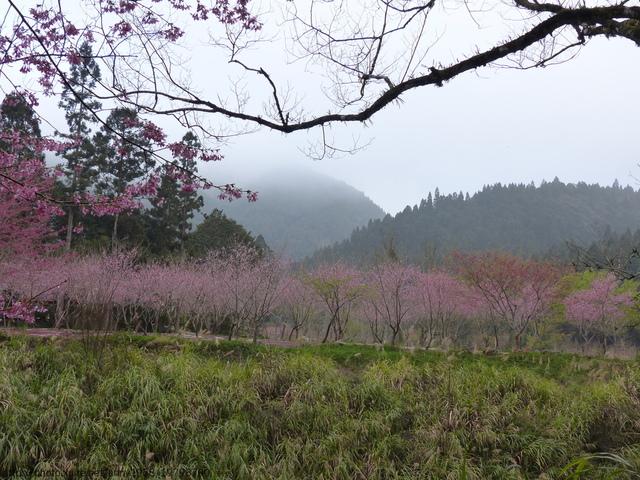 P1400444.JPG - 杉林溪櫻花河谷