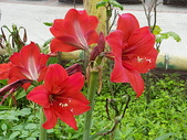孤挺花:IMGP0333