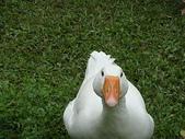 大白鵝:DSC09779.JPG