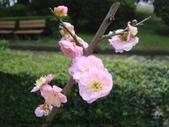 植物:宮粉梅DSC00467.JPG