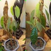 榴蓮種子盆栽:1-晨昏不同.jpg