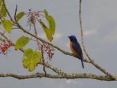 鳥類:黃腹琉璃(公鳥)IMGP3284.JPG