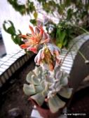 老租窩的小花圃:玉蝶大開花