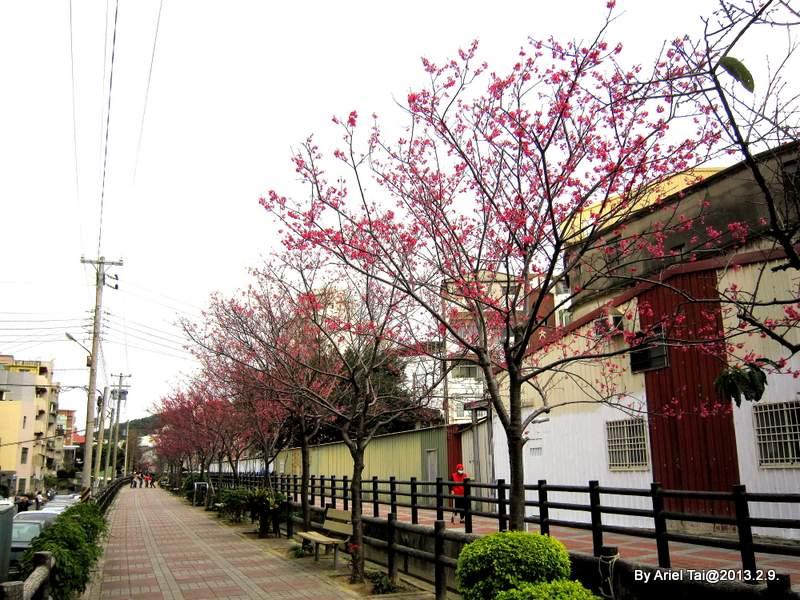 102年農曆除夕:小年夜回家前看到櫻花開