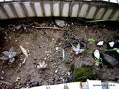 老租窩的小花圃:新生了很多的雨百合