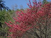 武陵農場:山櫻花
