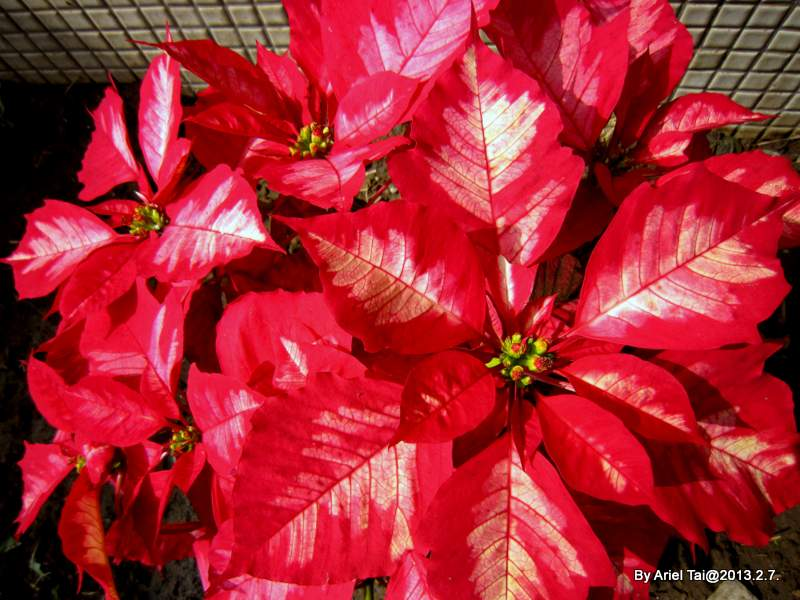 102隨手拍-後山或辦公室花園:火辣辣的雙色聖誕紅