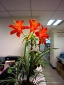 101年辦公室的小花園:喬治百合
