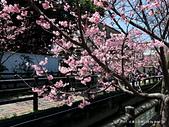 108年櫻花開:19-IMG_1044.JPG