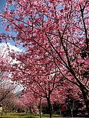武陵農場:櫻花來也~