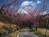 武陵農場:櫻花隧道