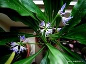 101年辦公室的小花園:藍晶花