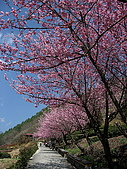 武陵農場:櫻花道