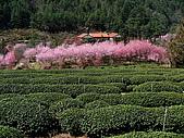 武陵農場:遠眺櫻花林