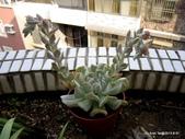 老租窩的小花圃:開花中的玉蝶