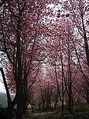 武陵農場:櫻林中