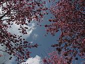 武陵農場:櫻花滿佈的天空