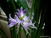 101年辦公室的小花園:藍晶花近照