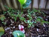 老租窩的小花圃:IMG_3500.JPG