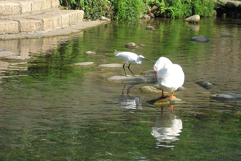 護城河亂拍:大白鵝與小白鷺