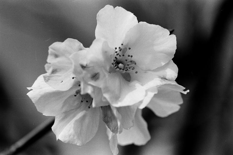 黑白練習:後山櫻花