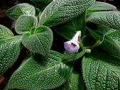 辦公室小花園:藍花喜蔭