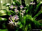 101年辦公室的小花園:藍晶花盛開