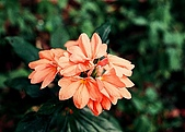 維洛那一遊:可愛的花