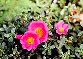 維洛那一遊:我喜歡的螢光紅小花