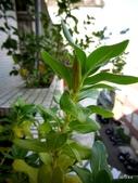 老租窩的小花圃:日日春的種莢