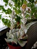 老租窩的小花圃:二隻大花梗