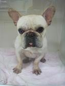 法國鬥牛犬已被認養!:1004707185.jpg