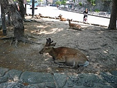 20080526 廣島與宮島:宮島有很多梅花鹿