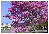 南投貓羅溪畔風鈴樹花開:DSC_1631.JPG