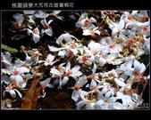 2009.04.30 大艽芎古道賞桐花:DSCF2010.JPG