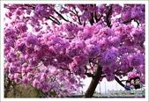 南投貓羅溪畔風鈴樹花開:DSC_1638.JPG