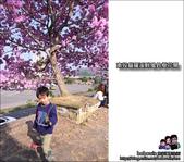 南投貓羅溪畔風鈴樹花開:DSC_1604.JPG
