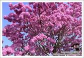 南投貓羅溪畔風鈴樹花開:DSC_1608.JPG