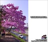 南投貓羅溪畔風鈴樹花開:DSC_1592.JPG