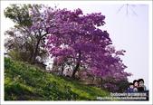 南投貓羅溪畔風鈴樹花開:DSC_1590.JPG