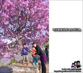 南投貓羅溪畔風鈴樹花開:DSC_1618.JPG