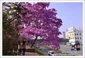 南投貓羅溪畔風鈴樹花開:DSC_1591.JPG