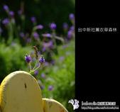 [ 台中 ] 新社薰衣草森林--薰衣草節:DSCF6476.JPG