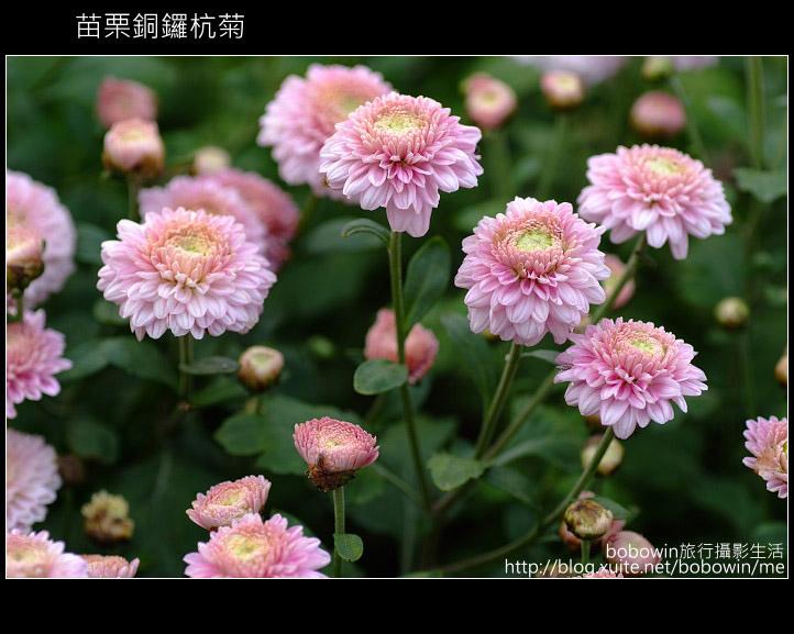 2009.11.08 銅鑼杭菊:DSCF1301.JPG
