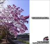 南投貓羅溪畔風鈴樹花開:DSC_1603.JPG