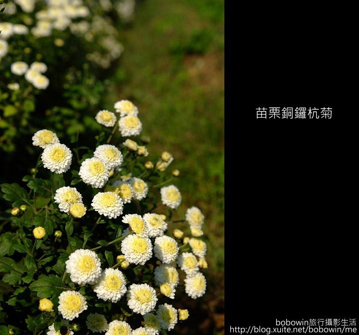 2009.11.08 銅鑼杭菊:DSCF1373.JPG
