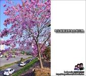 南投貓羅溪畔風鈴樹花開:DSC_1627.JPG